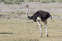 male common ostrich which stands in the dried African savanna in the dry season