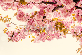 Beautiful sakura pink flower cherry blossom and sun background. Greeting card template. Shallow depth. Soft vintage toned. Spring nature