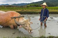 Reisfarmer und Wasserbüffel stehen in einem Reisfeld, Luang Prabang, Laos