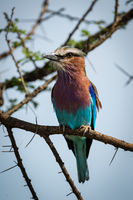 Lilac-breasted roller with head turned on branch