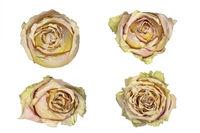 Vier vertrocknete Rosenköpfe, isoliert auf weißem Hintergrund