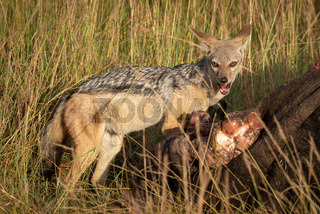 Black-backed jackal stands with carcase eyeing camera