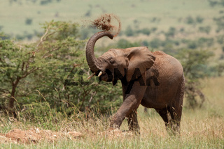African elephant throws earth over its head