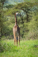 Masai giraffe looks over shoulder in clearing
