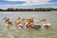 Great White Pelicans, Ethiopia, Africa wildlife