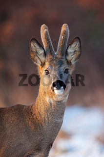 Portrait of roe deer, capreolus capreolus, buck in winter.