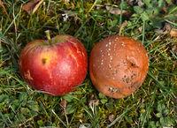 Roter und fauliger Apfel, Apfelfaeule, malus domestica
