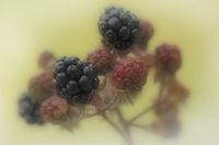 Brombeere (Rubus sectio Rubus)