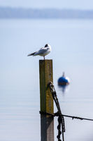 seagull at the lake Starnberg