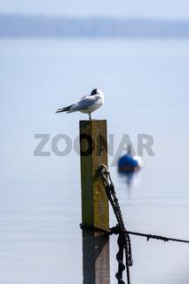 seagull at the lake Starnberg