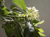 lemon flowers detail