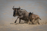 Blue wildebeest and calf gallop through shallows