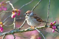 Eurasian Tree Sparrow sitting on a twig