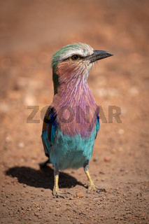 Lilac-breasted roller standing in dirt with catchlight