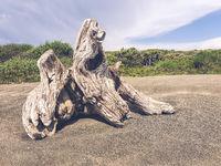 Old stump on the seashore