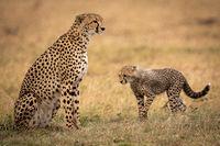 Cheetah cub walks towards mother on grass
