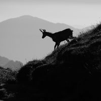 Silhouette of a chamoise on the ridge of Mount Niederhorn, Switzerland. Early morning.