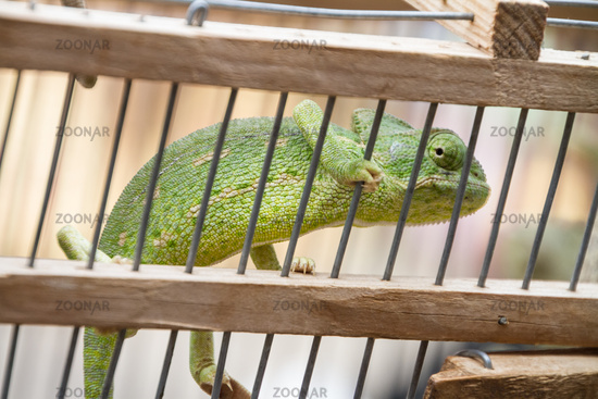 A chameleon in captivity in wooden cage.