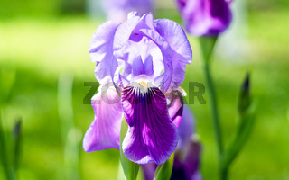 Flower iris in the garden. Spring flower iris shot in clear sun on green background of natural grass