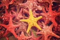 Plenty starfish