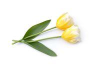 Zwei Tulpen liegen auf weißem Hintergrund