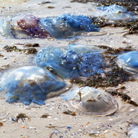 Dead jellyfish (Rhizostoma) washed ashore on sand beach