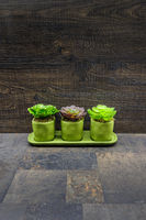 Succulent plants on stone and wood background