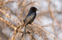 Drongo in a tree