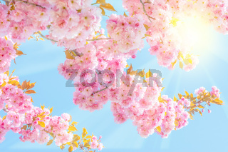 Beautiful sakura pink flower cherry blossom and sun background. Greeting card template. Shallow depth. Soft pink toned. Spring nature