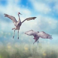 Pair of Sandhill Cranes courtship dance