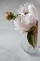 Fresh nice peony flower in a wafer horn at a vase on a gray concrete table.