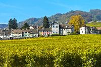 Weinberge der Gemeinde Mont-sur-Rolle in Herbstfarben, Weinbaugebiet La Côte,Mont-sur-Rolle,Schweiz