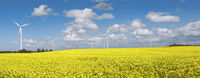 Blooming rape field with wind turbines