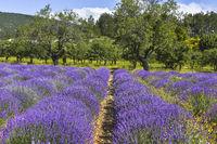 Lavendelfeld mit Obstbäumen
