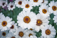 Ox Eye daisy, name of these flowers is Swamp chrysanthemum.Scientific name is Leucanthemum paludosum.