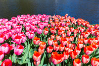 Tulip field with red and pink tulips at water