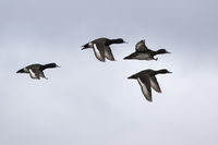 flock of ducks that fly over the river valley overcast spring day