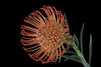 Blüte eines Silberbaumgewächses (Proteaceae)