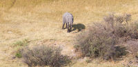 Elephant in the Okavango delta (Botswana)