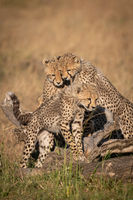 Cheetah cubs watch another stand on log