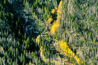 Aspen grove at autumn in Rocky Mountains