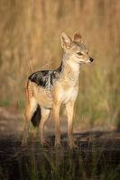 Black-backed jackal stands on rocks in sunshine