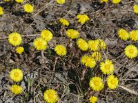 first spring flowers  coltsfoot