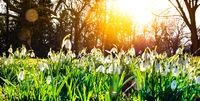 little snowdrop in the spring sun
