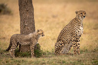 Cheetah cub stands behind mother on grass