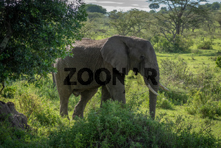 African bush elephant stands among leafy bushes