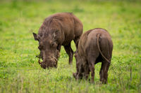 Two warthogs eating grass opposite each other