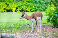 antelope blackbuck portait