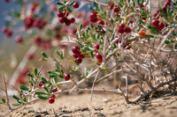 Shrub Nitraria sibirica with red berries fruits in mongolian arid desert in Western Mongolia