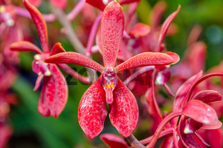 Close-up red orchid flowers